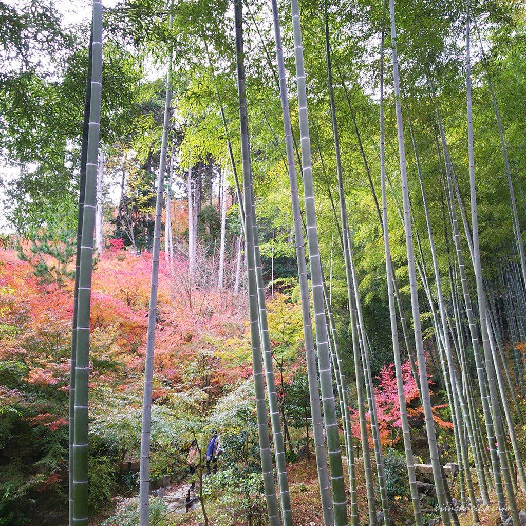 常寂光寺の竹と紅葉